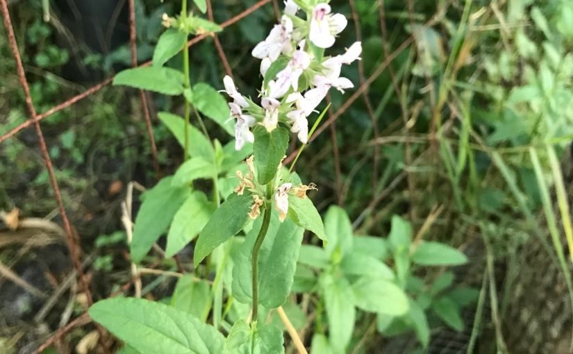 Backyard Bites – Florida Betony (Stachysfloridana)